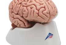 Human Brain Anatomy Models / The brain is one of the vital parts of the body, the central processor for everything we do.  Understanding the human brain and its functions is critical for medical and biological advancement.