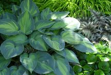 Plants | Hostas / For shaded and woodland areas, there is no better or more versatile plant than the hosta. Most hostas should be planted in shade or semi-shade. As a general rule, gold and yellow varieties produce their best colour in slightly more sun. Blue varieties produce their most intense colour when grown in dappled shade. The top five Hostas include:  Sagae, Sum and Substance, Great Expectations, Patriot, Pauls Glory
