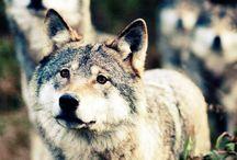 Werewolves/wolves