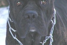 Cane Corso / Best Dog for House, Family, Protection and Kids