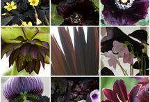 czarne rosliny