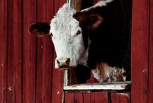 Cows / by Lou Wiens