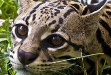 Wilds cats / felins sauvages de toutes tailles