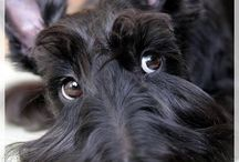 Scottish Terriers / One big heart and soul packed into a tiny little body...