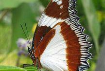 Vlinders enrupsen