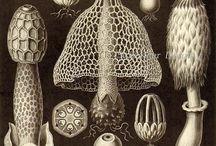 Ernst Haeckel: Kunstformen der Natur / Kunstformen der Natur (German for Art Forms of Nature) is a book of lithographic and halftone prints by German biologist Ernst Haeckel. This magnificent work bridges the gap between science and art.