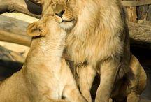 A Lion Love