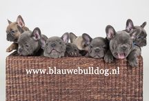 Blue French bulldog puppies / Adorable blue French bulldog puppies