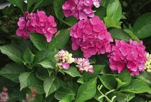 Hydrangea - Shades of Pink