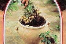 Plantes Arachide  Cacahuètes