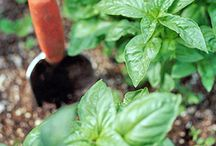 Growing fresh herbs / Investigate which method is the best for growing herbs for cooking.