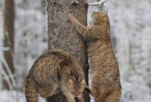 кошки шотландцы