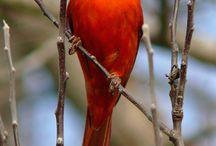 Cardinals / by Regina Logue