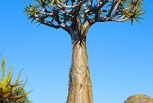 Koker bome en alwyne