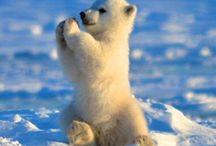 Polar bears❤️❤️❤️ / Cutest damn animal