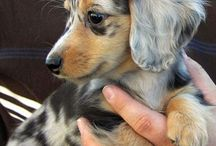 Dachshunds / My favourite breed of dog!