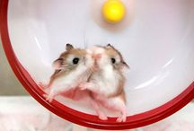 Hamham Stuff :] ♥ / Everything hamham! Cage ideas, cute photos, food, snack and treat ideas, toys, and so on! / by Jessi James