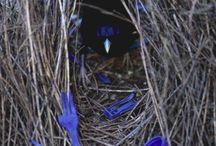 Blue Bower Bird
