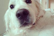 Oscar,  my cute golden