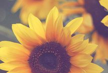 Flores -  SUNFLOWER and DAYSIS