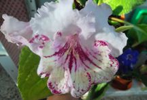 Streptocarpus / pokojová květina