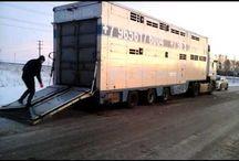 Грузоперевозки КРС, МРС, свиней лошадей на специализированном скотовозе 89656176005