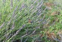 our fields, the very beginning / where selected lavender species are cultivated in organic system