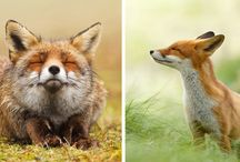 foxes and other cute animals