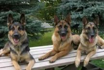 Dogs / German Shepherds and Pittbulls are my favorite dogs.