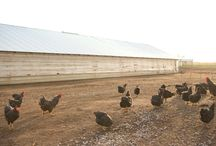 Life on the farm. / Get to know the birds, farmer and the beautiful prairie at the Good Shepherd Poultry Ranch.