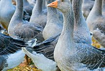 Geese / The JAMSO brand has geese in it so we thought it only correct to share with Pinterest folk the grace, resilience and beauty of these birds.