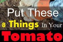8 Things in your tomatoes to grouw sweet tomatos