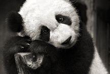 Panda Luff