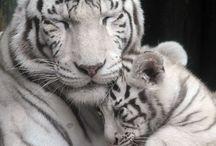 Tigríky