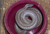 Reptiles n Rodents / Reptiles n Rodents featured at http:/;reptilesnrodents.com