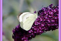 Butterflies / Jolis papillons