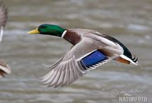 Mallard Photos, Mallard Images | NaturePhoto-CZ