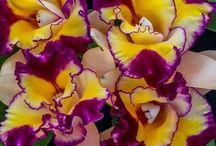 sema orkide