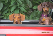 All Dachies Rock :) / Dachshunds dachshunds and more dachshunds / by Cathy Sullivan