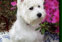 West highland terriers / by Laurie Quinn