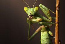 MICROPOLIS. Mantis