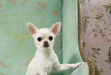 I <3 Chihuahua