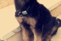 German Shepherd <3