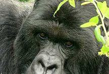 Gorillas  / by Leonie Lewis