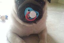 My Pug carlino TySoN