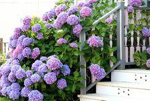 Gardening: Hydrangea, Hortensia