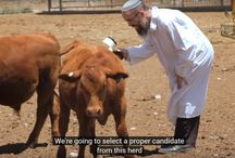 The Red Heifer: the Deepest Mystery of the Torah / The Temple Institute's breeding program is hoping to raise the long-awaited Red Heifer (Parah Adumah), a prerequisite for the restoration of ritual purity and the resumption of the Divine service in the Holy Temple.