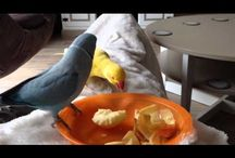 Parakeets, Parakeet, Parkieten, Perruche, Parrocchetto, Perico, Parakit, Budgies, Grasparkiet, Keet, birds / Everything about Parakeets Alles over Parkieten Birds  Video's , Photo's