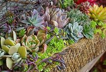 Succulents, mini and fairy gardens