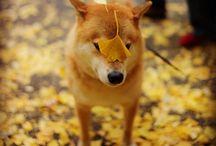 cutest shiba inu <3